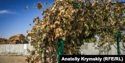 Засохшие листья - Перекоп, 29 августа