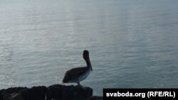 Пелікан на Чарапахавай бухце Санта-Крус
