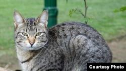 Расшифрован геном кошки домашней