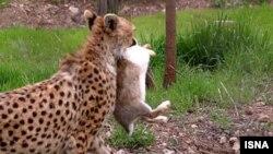 Азиатский гепард с кроликом