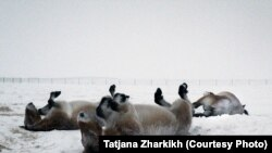 The horses rolling in the snow at a field in the Orenburg reserves, a cluster of six nature reserves near the border with Kazakhstan.
