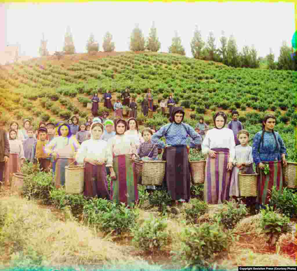 A Group of Workers Harvesting Tea, 1907-15