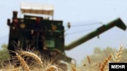 یک مزرعه گندم در استان گلستان