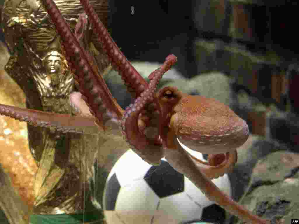 An octopus named Paul swims past a copy of the FIFA Football World Cup trophy in his aquarium in Oberhausen, Germany, on July 12, a day after Spain won the competition. The eight-legged oracle has become a World Cup sensation by correctly forecasting all seven Germany games in South Africa. Photo by Roland Weihrauch for AFP