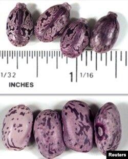 Насеньне клешчавіны, зь якога вырабляюць рыцын