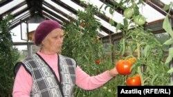 Җәмһурия апа Биккузина помидорлары искитмәле