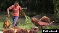 کودکان کار در مزارع تولید روغن پالم
