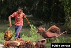 Плантация масличной пальмы в малайзийском Сабахе на острове Борнео