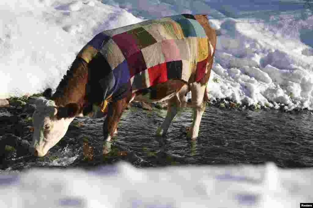 A cow covered with a colored blanket drinks water from a river near Pristina, Kosovo, on January 16. (Reuters/Hazir Reka)