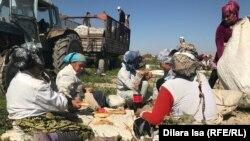 Мақта алқабында түскі астарын ішіп отырған өзбек терімшілері. Түркістан облысы, Жетісай ауданы. 2-қазан 2018 жыл