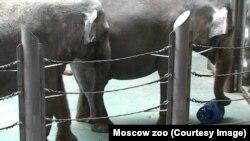 Слоны в Московском зоопарке. Кадр из фильма об обогащении среды слонов, снятого сотрудниками научного отдела зоопарка