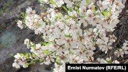 Этой зимой в некоторых регионах Узбекистана зацвел миндаль.