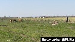 Егістік жанында сиыр бағып жүрген адам. Алматы облысы, Талғар ауданы. 20 сәуір 2020 жыл.