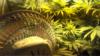 Првата легална берба на марихуана во САД без купувачи