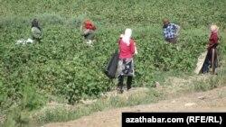 Aşgabatda mejbury öndürilýän pagtanyň halkara ýarmarkasy geçiriler