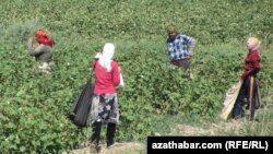 Turkmenistan -- Cotton picking season continues in Lebap province. September 10, 2014.
