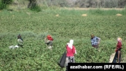 According to activists, Turkmenistan annually forces tens of thousands of people to pick cotton every year. (file photo)