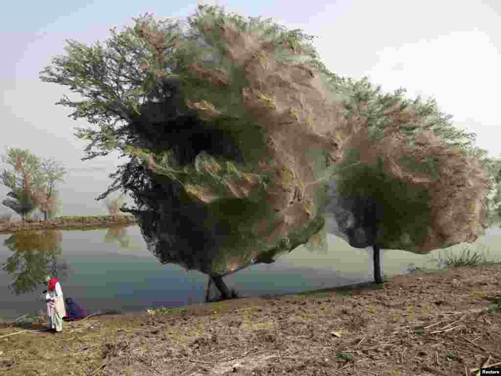 Villagers stand next to trees covered in spider webs in flood-affected areas near Dadu in Pakistan's Sindh Province. The cocooned trees have been a side effect of spiders escaping flood waters in the area. Photo by Russell Watkins for Reuters