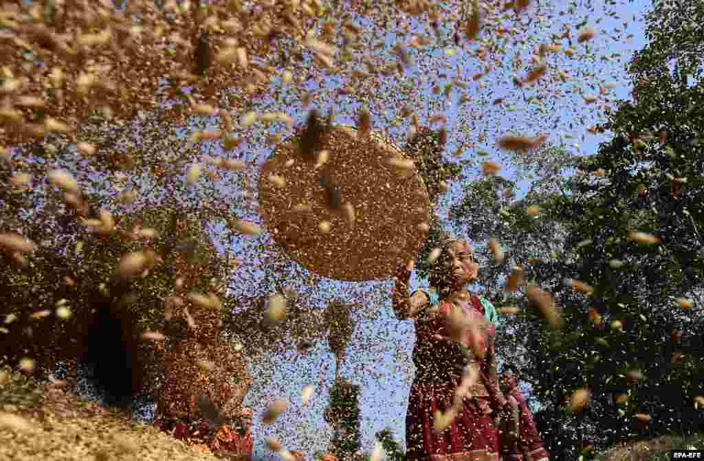 Tiwa men and women separate dust from paddy for making maiphur (paddy bags) in their jhum field during the Mai Pathala Misawa ritual in the Karbi Anglong district of Assam, India. (epa-EFE)