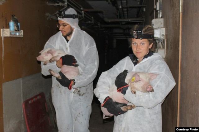 Освобожденные свинки