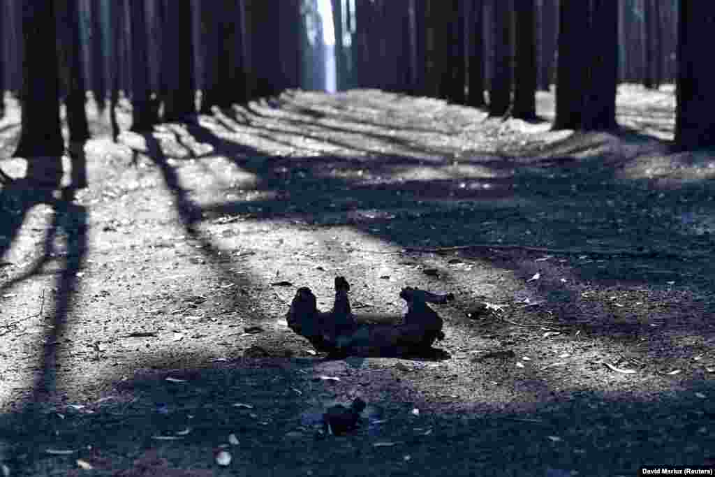 Коалу, которая погибла в огне, нашли на острове Кенгуру. Экологи приводят разные данные по количеству погибших животных. По оценкам специалистов Сиднейского университета, жертвами пожаров стали около миллиарда особей