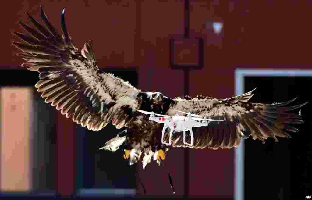 Trenirani orao pokušava uhvatiti dron tokom vježbe koju je holandska policija organizovala kao dio programa obuke ptica u hvatanju dronova iznad osjetljivih i zabranjenih područja poput kompleksa Holandske policijske akademije u Osendrehtu. (AFP/Emanuel Dunand)