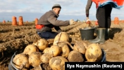 Migrant workers from Kyrgyzstan harvest potatoes in a private field in Russia's Krasnoyarsk region. (file photo)