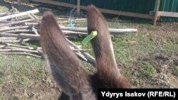 На каждом осле на ферме в Ошской области есть вот такая бирка.