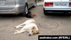 Бездомные животные, Ашхабад.