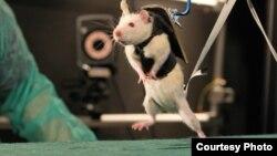 Paralizovani pacov tokom istraživanja