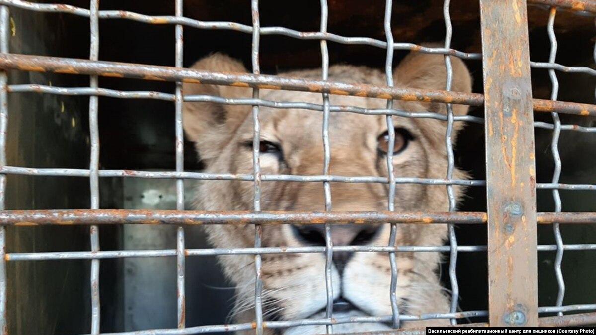 Лев из зоопарка Покровска, где издевались над хищниками, улетел в Крит Африку