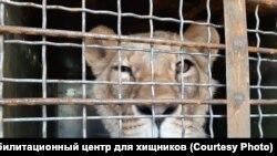 Один із урятованих від голодної смерті левів