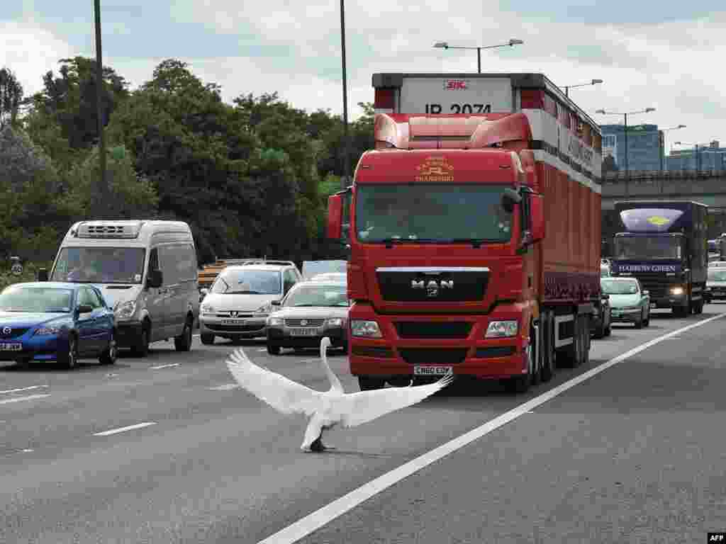 A swan holds up traffic near Junction 3 of the M4 motorway, west of London, on June 15.Photo by Carl de Souza for AFP