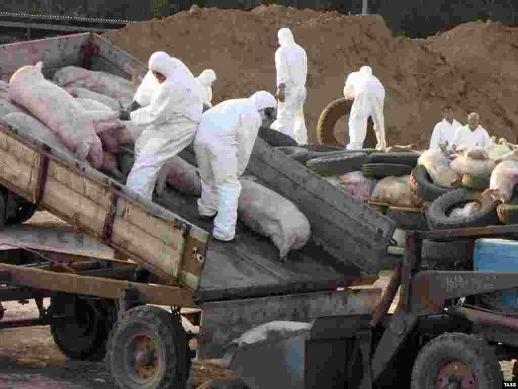 В Ростовской области ликвидируют очаг африканской чумы свиней