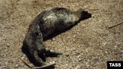 For years, seals have suffered from overhunting and industrial pollution in the Caspian Sea. (file photo)
