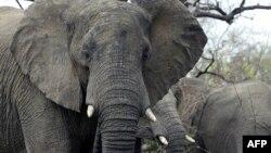 Слон в африканском национальном парке