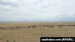 Turkmenistan -- Herd of sheeps, undated