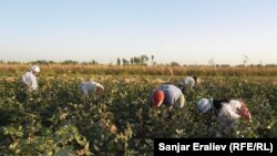 Kyrgyzstan - Сotton plantation. Child labor on the plantations. Agriculture. Cotton, Osh, 16Sep2012