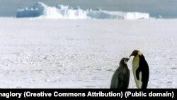 Науковці: українські полярники зустрічають це Різдво в «компанії» небувало великої кількості пінгвінів