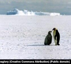 Імператорські пінгвіни