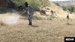 ملخهای صحرایی به شش استان جنوبی ایران حمله کردهاند