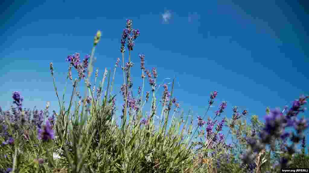 Лавандове поле в Тургенівці Бахчисарайського району – найбільше в Європі