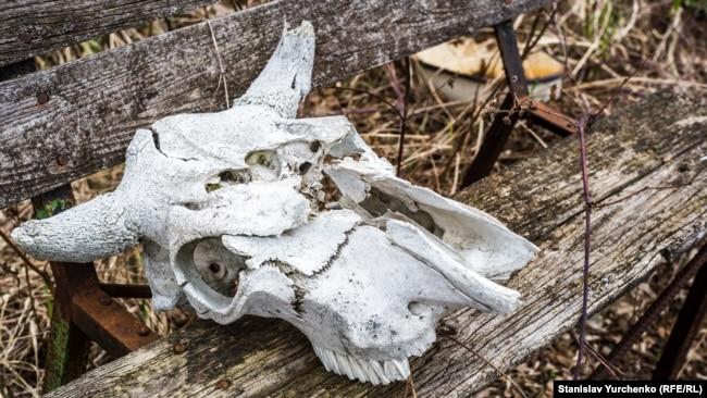 Свійські тварини та деякі види тварин, яких вважають супутниками людини, у Чорнобильській зоні відчуження зникли, їх поступово витіснили представники дикої фауни Полісся
