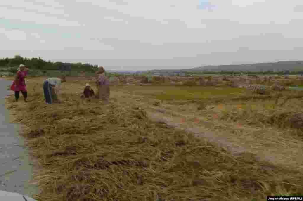 В Баткене рисовые плантации составляют 2.5 тысяч гектара