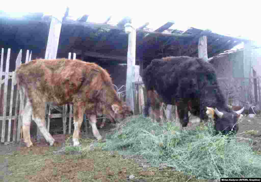 Из-за плохого качества сена, которое привозится из Чуйской области, в области фиксируется падеж скота от истощения.