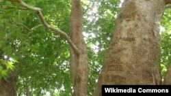 2033 yaşlı ağac. Dağlıq Qarabağın indi Sxtoraşen adlanan Şıx Dursun kəndi