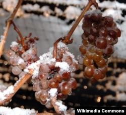 Заморозки могут иметь пагубные последствия для виноградников