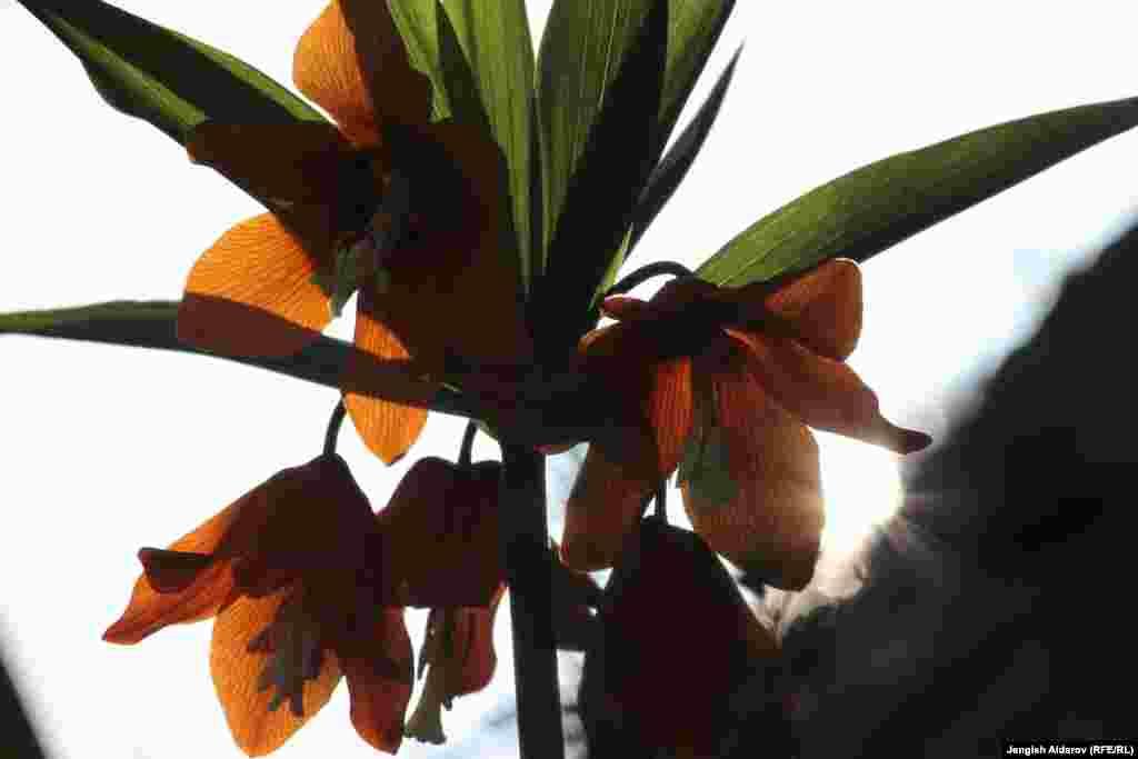 Цветок Айгуль называют символом Баткенской области. Он занесен в Красную Книгу.