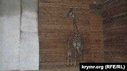 Жирафи в парку «Тайган»