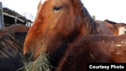"""Лошадь на туристической базе """"Конный двор"""". Усть-Каменогорск, 2 января 2013 года. Фото предоставлено посетителями турбазы."""